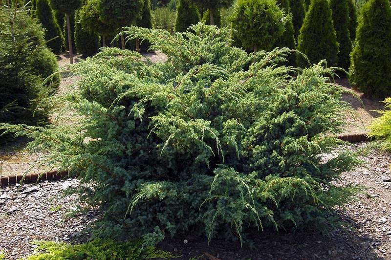 Можжевельник скальный Ханнеторп Juniperus squamata Hunnetorp