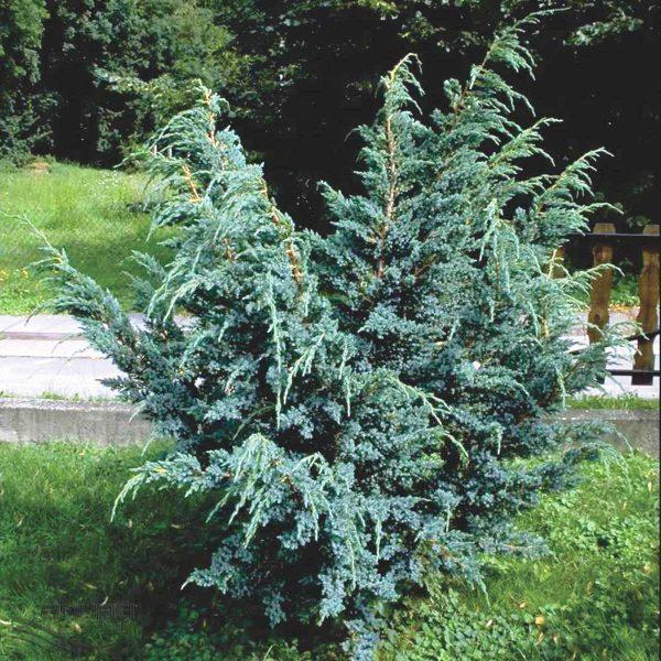 Можжевельник скальный Мэйери Juniperus squamata Meyeri