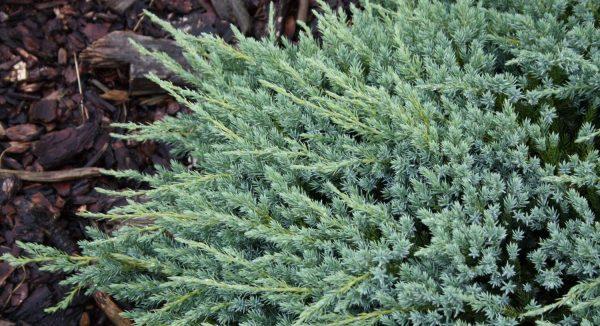 Можжевельник чешуйчатый Блю Карпет Juniperus squamata Blue Carpet