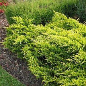 Можжевельник Пфитцериана Олд Голд (Juniperus x pfitzeriana Old Gold)